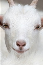 Preview iPhone wallpaper White goat front view