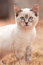 White kitten walk, look