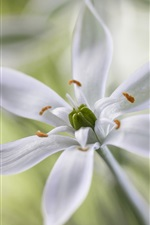 Preview iPhone wallpaper White petals flowers, stamens