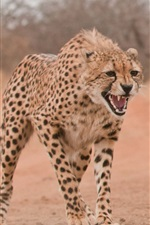 Preview iPhone wallpaper Wild boar, cheetah