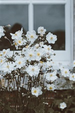 Preview iPhone wallpaper Window, white flowers