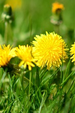 Yellow flowers, dandelions, grass