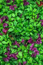Azalea, green leaves, purple flowers
