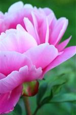 iPhone fondos de pantalla Hermosa flor de peonía rosa, pétalos, jardín