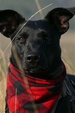 Preview iPhone wallpaper Black dog, scarf, grass
