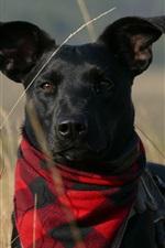 iPhone обои Черная собака, шарф, трава
