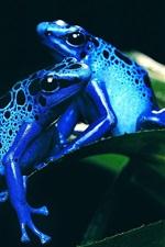 Sapos azuis