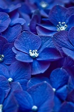 Preview iPhone wallpaper Blue hydrangea flowers close-up