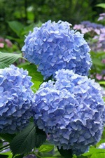 Preview iPhone wallpaper Blue hydrangea flowers, park