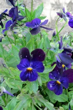 Preview iPhone wallpaper Blue pansies flowering