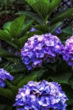 Preview iPhone wallpaper Blue purple hydrangea flowers