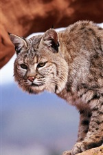 Bobcat, gray stripes