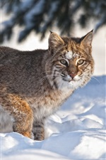 Preview iPhone wallpaper Bobcat in the snow, winter