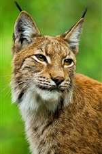 Preview iPhone wallpaper Bobcat look back, green background