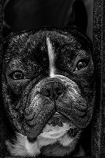 Preview iPhone wallpaper Bulldog look out from window, black and white picture