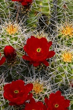 Preview iPhone wallpaper Cactus red flowers