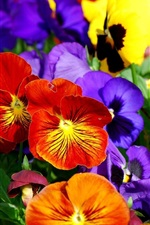 Preview iPhone wallpaper Colorful pansies, beautiful flowers