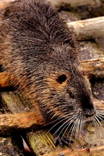 Preview iPhone wallpaper Coypu, rodent