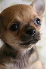 iPhone обои Симпатичная собака Чихуахуа, лицо, собачка