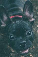 Cute black bulldog look at you