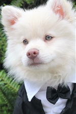 Preview iPhone wallpaper Cute white dog like a gentleman