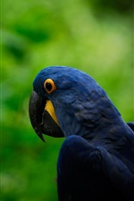 Dark blue parrot, green background