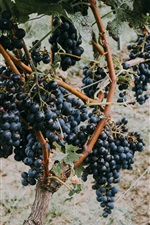 Preview iPhone wallpaper Grapevine, ripe black grapes