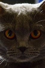 Preview iPhone wallpaper Gray cat front view, look, eyes, backlight
