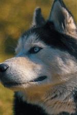 Olhar do cão Husky, fundo desfocado