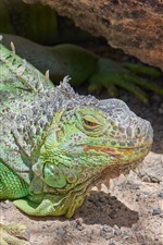Iguana, lizard, look up, green