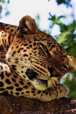 Preview iPhone wallpaper Leopard sleep in tree
