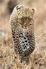 Preview iPhone wallpaper Leopard walking in the grass, wildlife