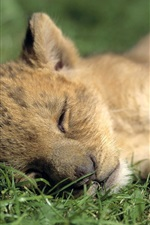 Preview iPhone wallpaper Lion cub sleeping