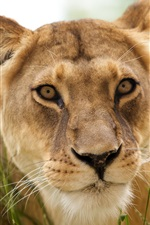 Preview iPhone wallpaper Lion face close-up, grass