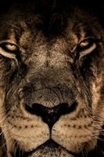Lion face, predator, look, wildlife