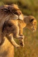 Preview iPhone wallpaper Lion motherhood catch cub