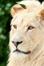 Preview iPhone wallpaper Lion, predator, face, eyes