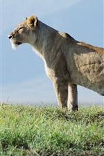Preview iPhone wallpaper Lioness observation, grass