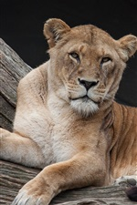 Preview iPhone wallpaper Lioness, rest, predator, look