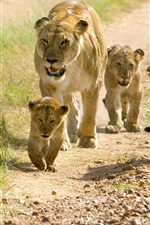 Preview iPhone wallpaper Lions, family, cubs, walk