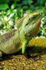 Preview iPhone wallpaper Lizard look up, chameleon