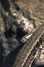 Preview iPhone wallpaper Lizard, reptile, stone