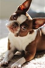 iPhone обои Прекрасная собака смотрит на тебя