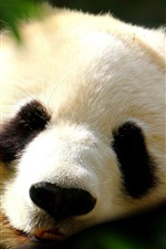 Lovely panda, face, sleep, front view