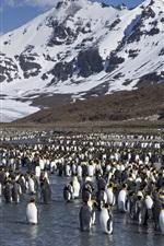 Preview iPhone wallpaper Many penguins, antarctica