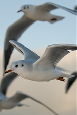 Preview iPhone wallpaper Many seagulls flying