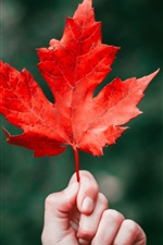 Preview iPhone wallpaper One red maple leaf, hand