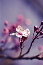 iPhone обои Один цвет белый цветок, бутоны цветов, веточки, весна