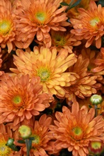 Preview iPhone wallpaper Orange flowers, water drops