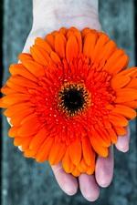 Preview iPhone wallpaper Orange gerbera flower, hand